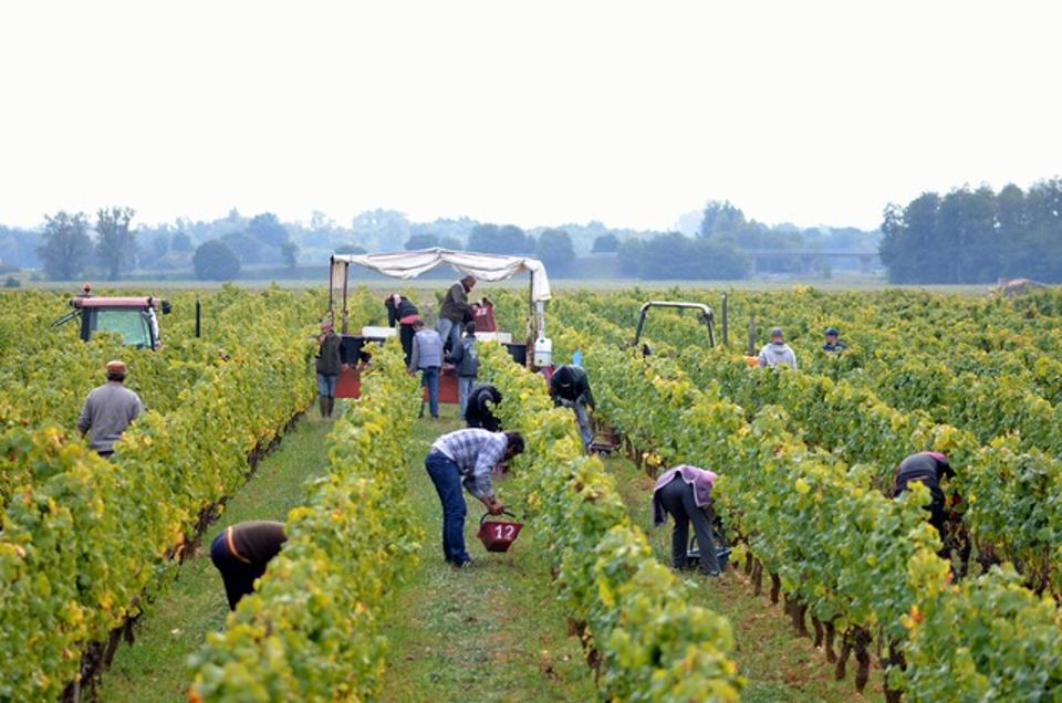 Workers pick grapes by hand during the 2015 harvest at Chateau Climens.