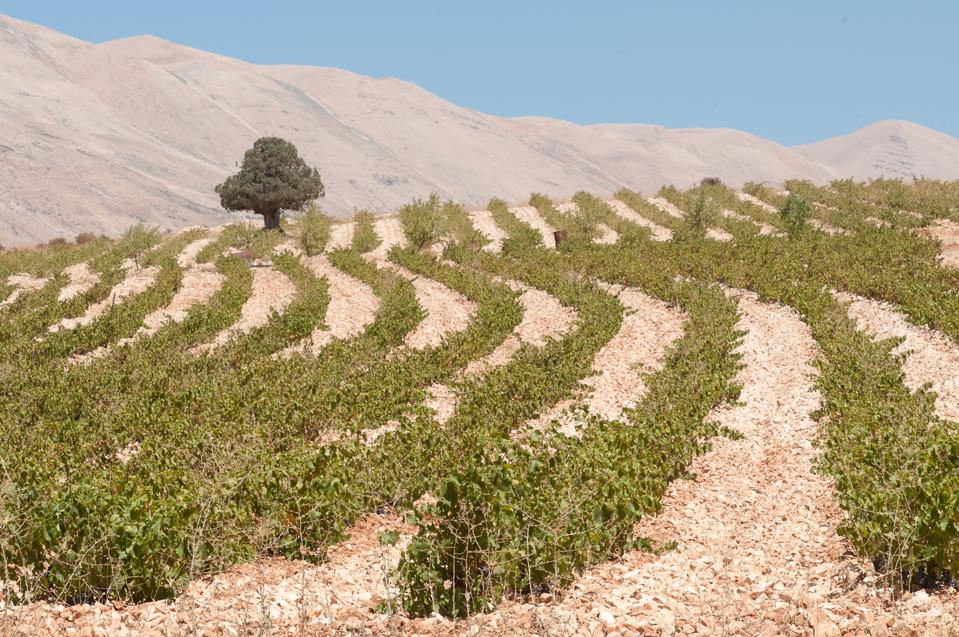 Ainata vineyard in Lebanon