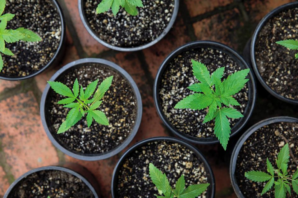 Johanna Silver, Growing Weed in the Garden, cannabis cultivation, gardening, marijuana