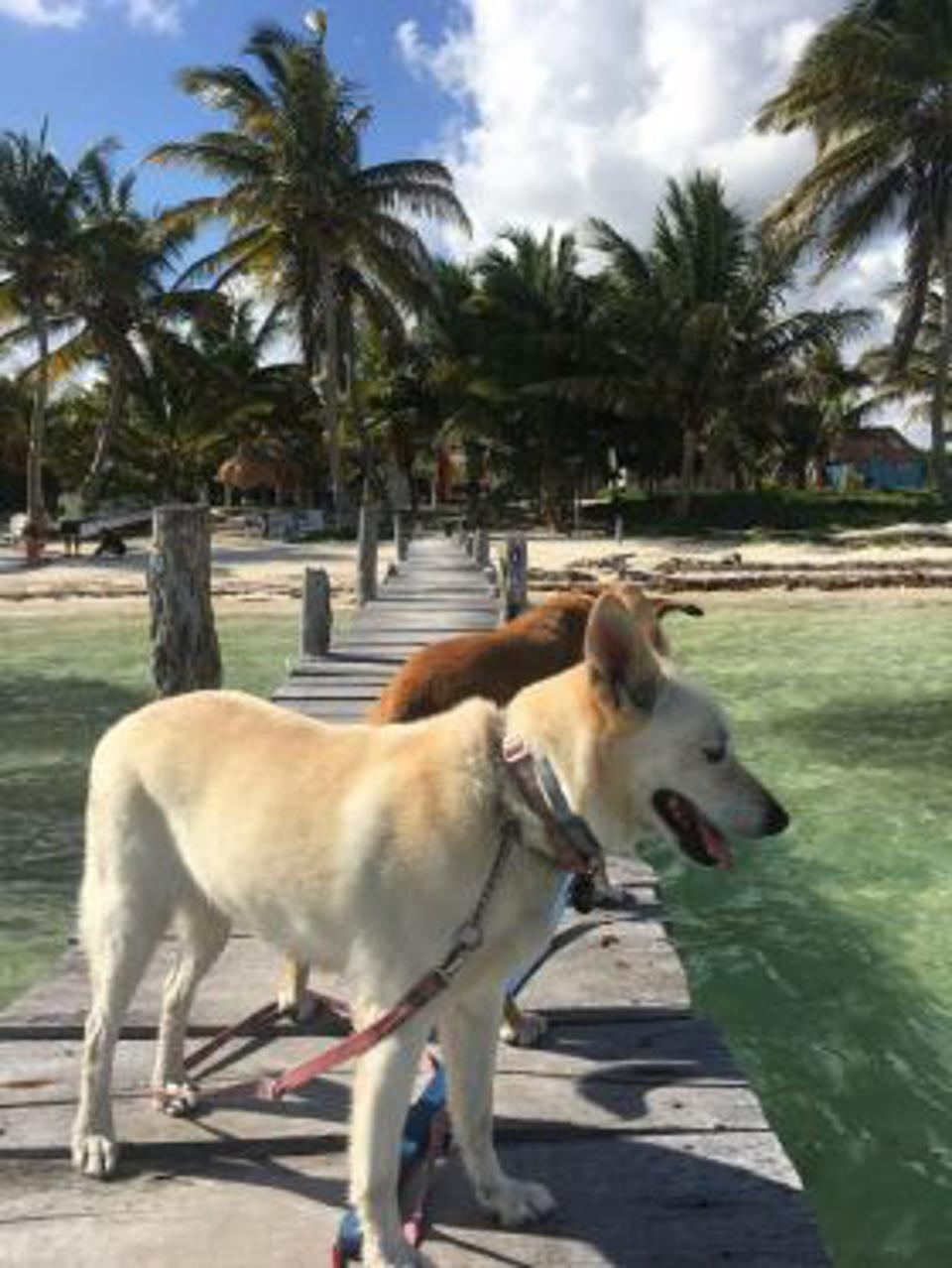 White dog and brown dog on a pier in Mahahual, Mexico