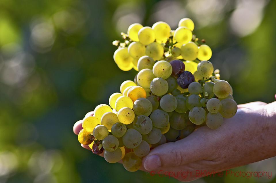 Chardonnay in Meursault, Cote de Beaune, Burgundy, France