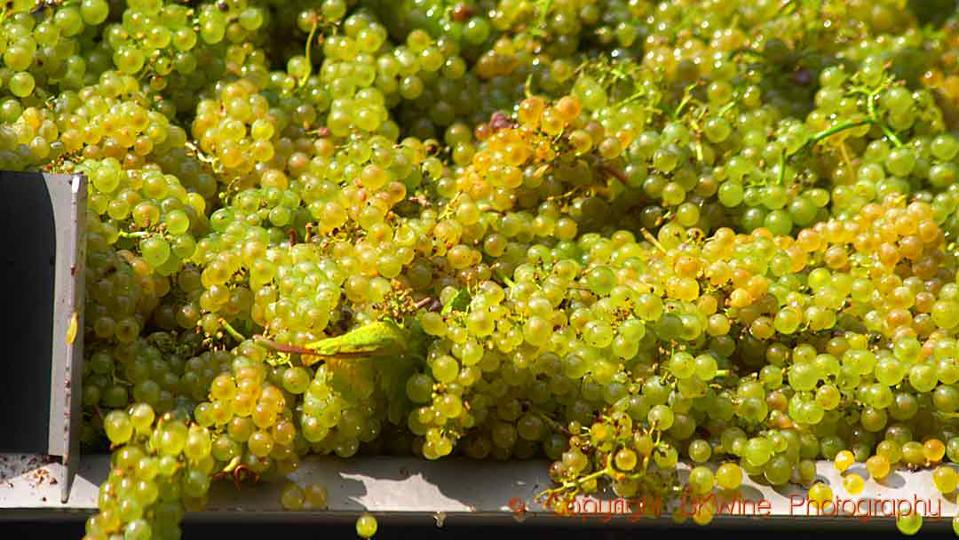 Chardonnay just brought in from harvest in Burgundy