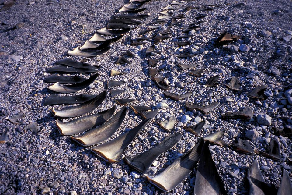 Shark finning camp, Sea of Cortez, Mexico.
