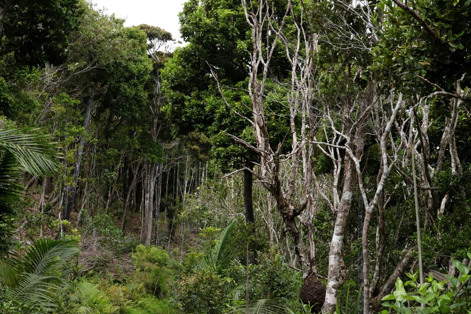 Ebony Forest at Chamarel Mauritius, Indian Ocean, Africa