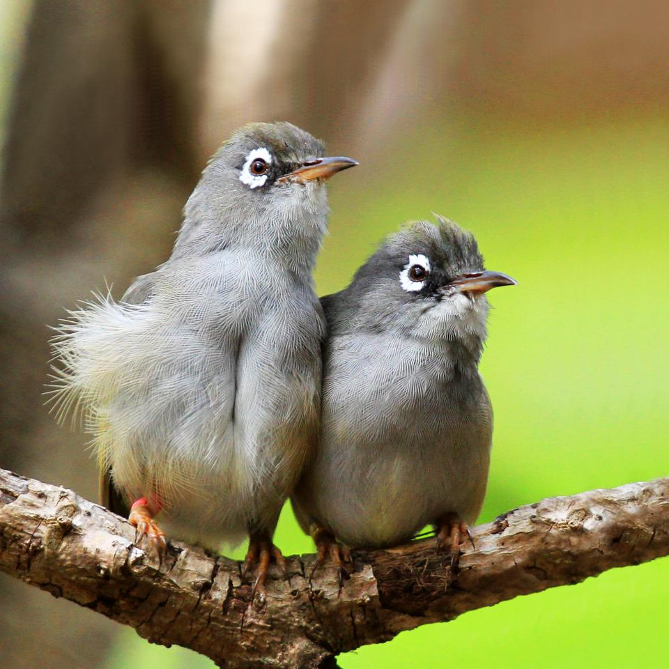 Mauritius Olive White Eye bird