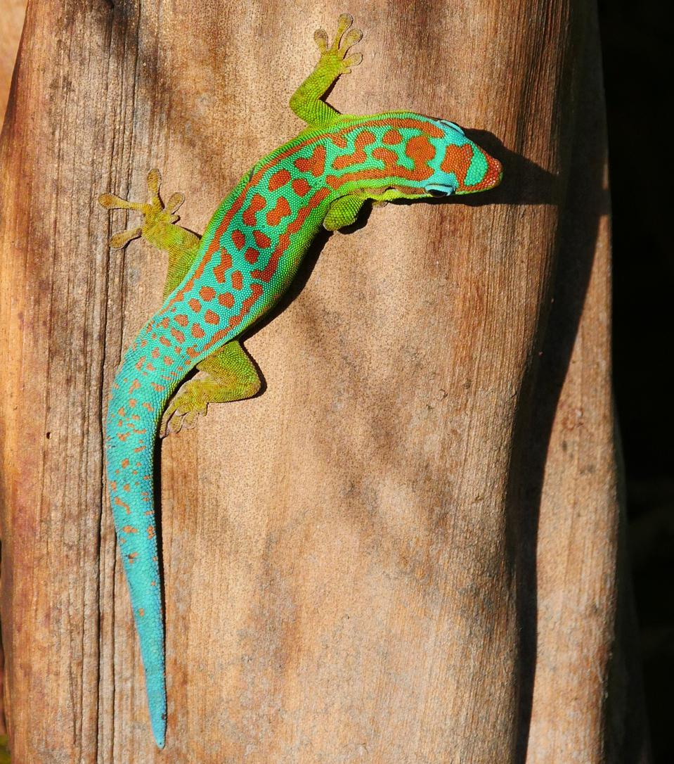 Ornate day gecko in natural habitat
