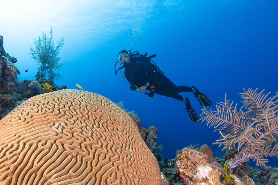 Brain Coral (Diploria labyrinthiformis) and diver