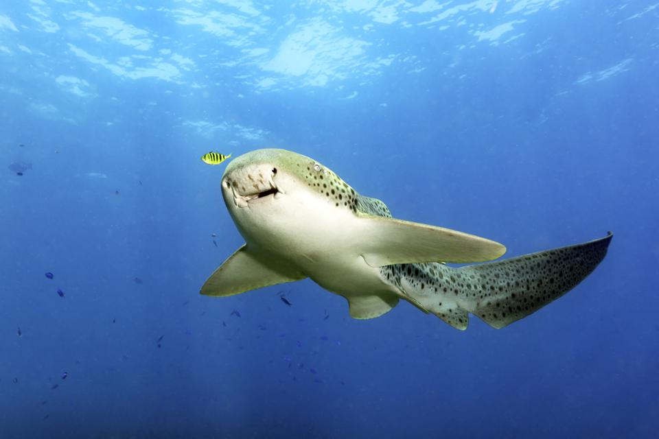 Leopard Shark With a Yellow Pilot Fish in Blue Water