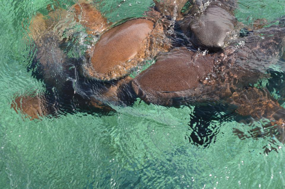 Nurse Sharks Gathering in Expectancy of Bait at Shark Ray Alley, Belize