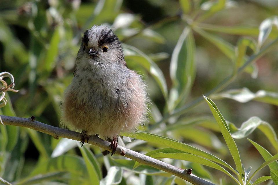 Color photo of a fuzzy baby bird perched among foliage.