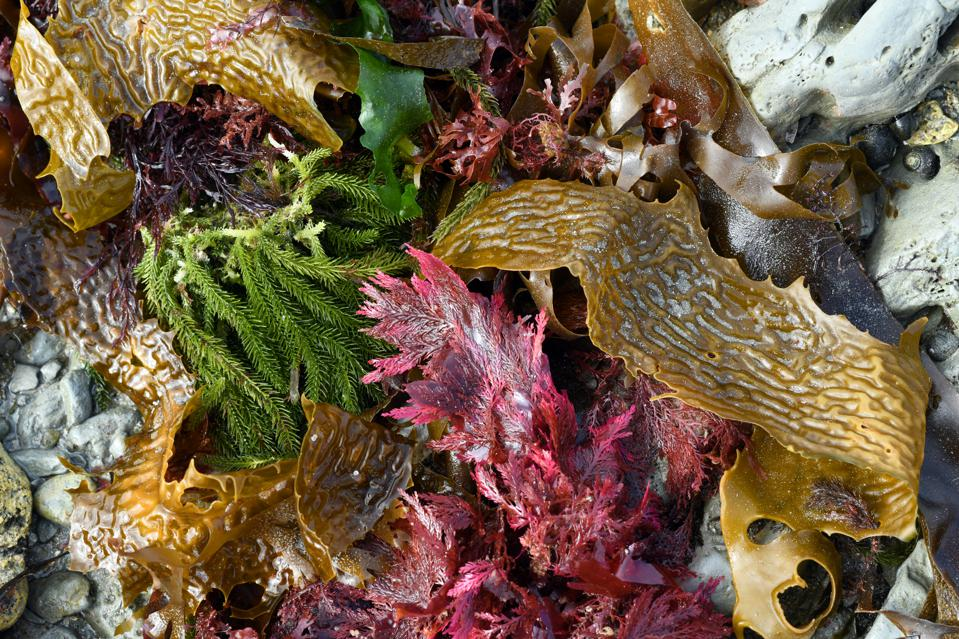 Seaweeds on the Pacific shore, New Zealand