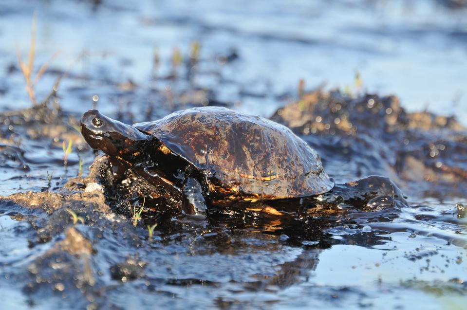Close-up of turtle covered with petroleum