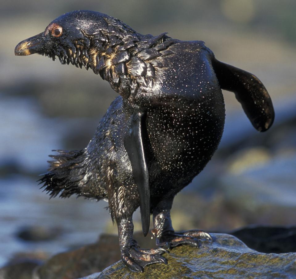 Jackass Penguin (Spheniscus Demersus), covered in oil from tanker spill