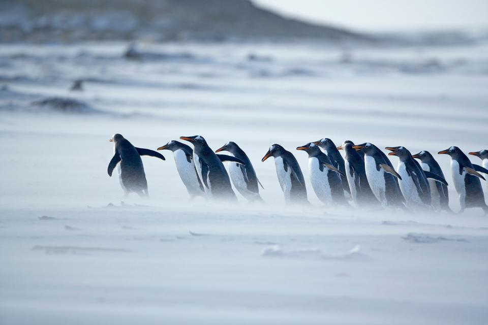 Gentoo penguins (Pygoscelis papua papua) marching in line, Falkland Islands showing leadership in hard times.