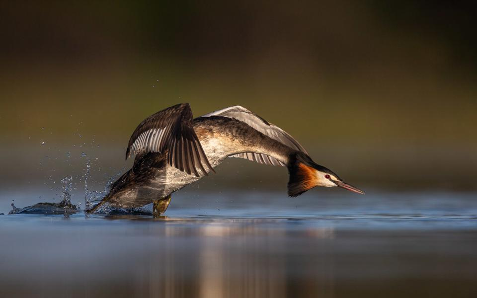Great Crested Grebe, winner Photo BPOTY 2020