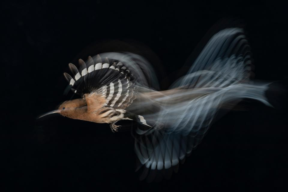 HOOPOE BIRD FLIGHT AT LOW SPEED, GOLD AWARD WINNER BPOTY 2020