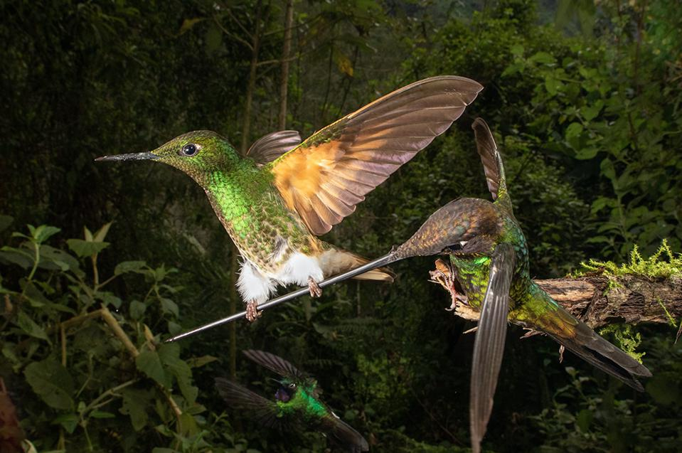 Sword-billed Hummingbirds in Ecuador.