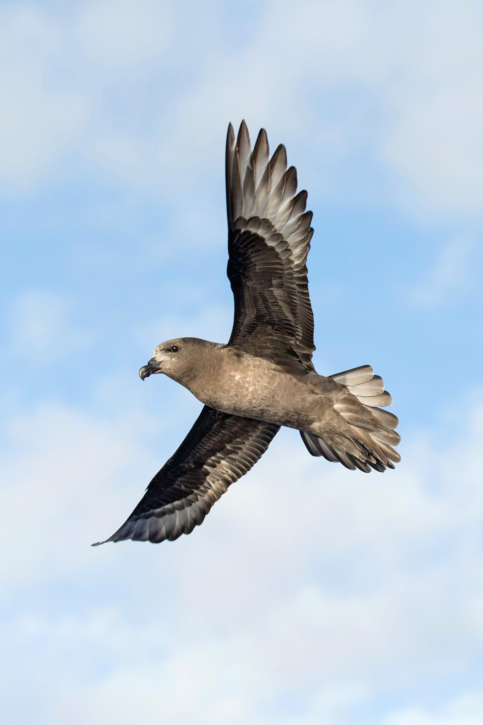 A petrel bird flying high with blue sky in backgorund.