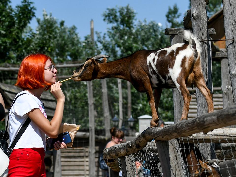 American Pygmy goat at Safari Zoo in Berdiansk