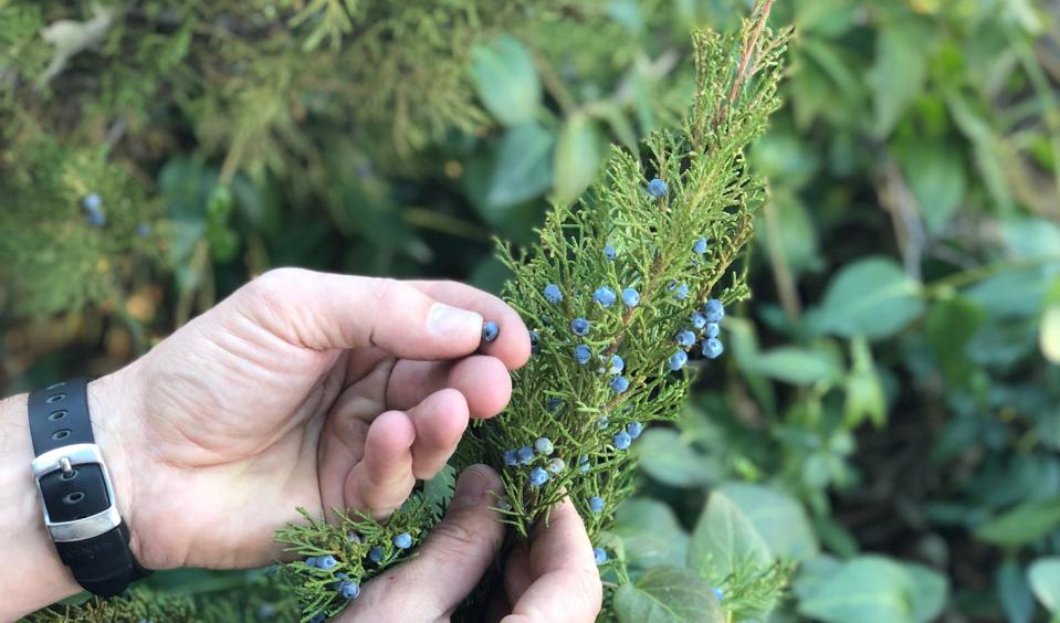 Wild foraged juniper from Big Sur is one of the California botanicals in Gray Whale.