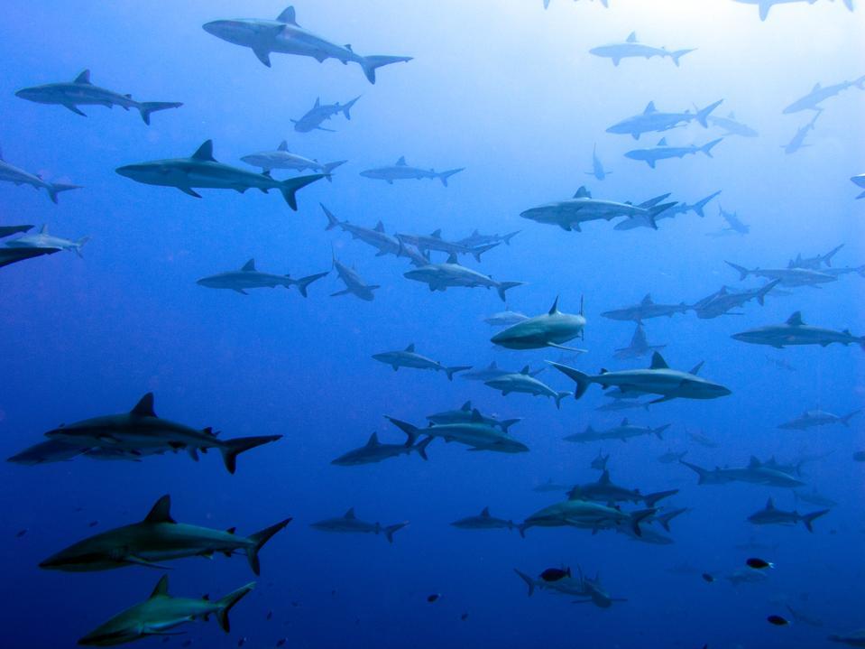 Grey reef sharks school - Fakarava Island, Polynesia