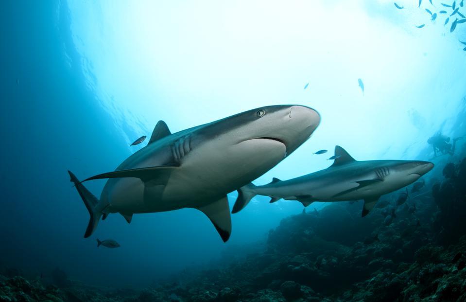 Grey reef shark passes over reef in Fiji