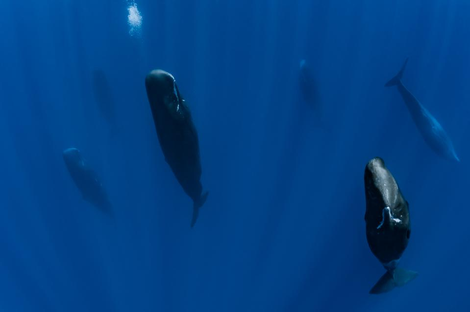 A group of sperm whales in the sleeping phase in a position called candle, on 16 November 2011 in Mauritius. Sperm Whales are a common site in Mauritius.