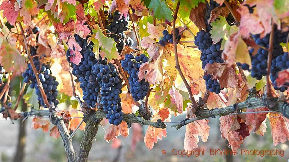 Ripe tempranillo grapes on the vine in a vineyard Bodegas Roda, Rioja, Spain