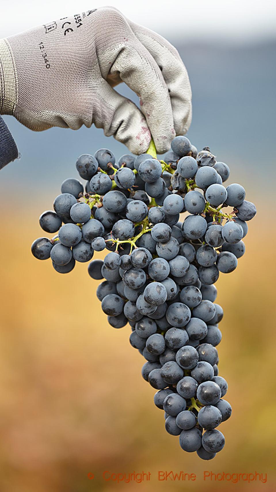 A tempranillo grape bunch at Bodegas Bilbainas, Rioja, Spain