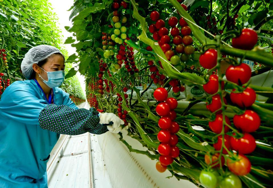 Tomatoes Harvest In Zhangye