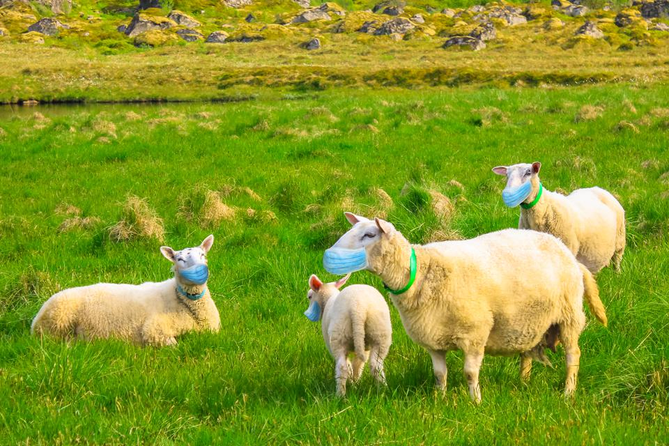 herd of sheeps with face mask