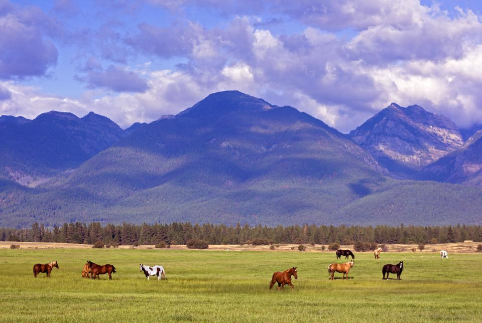 Classic Montana landscape of horses, fields and mountains