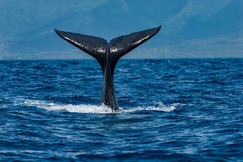Sperm Whale : Illustration
