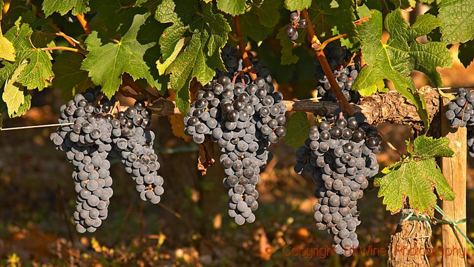 Merlot grapes on a vine at Chateau Lafleur, Pomerol, Bordeaux