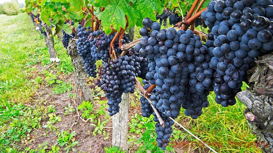 Bunches of ripe merlot grapes in a vineyard in Saint Emilion, Bordeaux