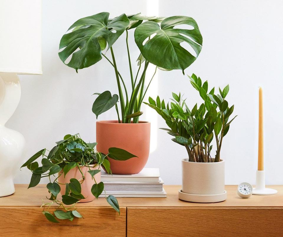 the sill zz plants