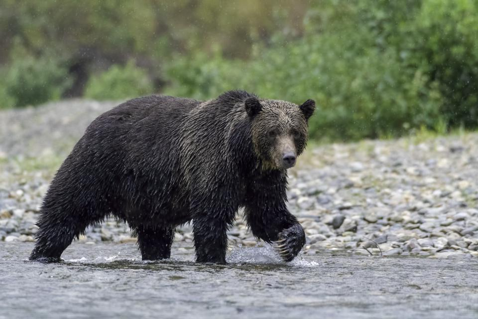 Grizzly bear on Vancouver Island