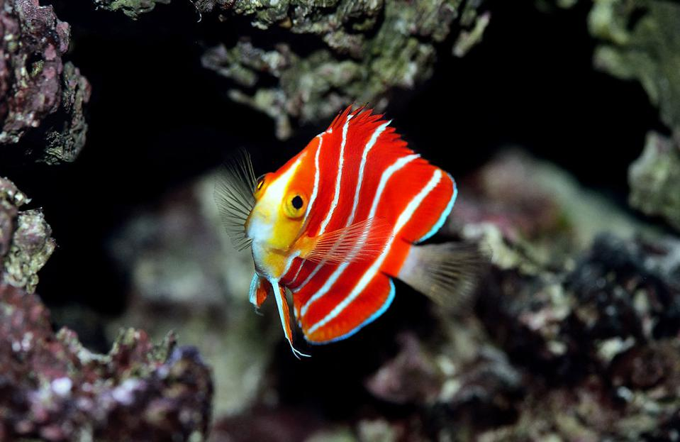 peppermint angelfish (Paracentropyge boylei) Yi-Kai Tea