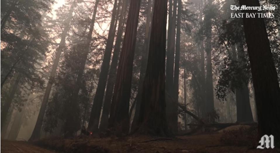 standing redwood tree