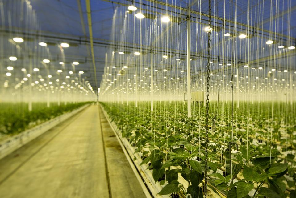Bell peppers being grown in greenhouse in Zevenbergen, Noord-Brabant, Netherlands