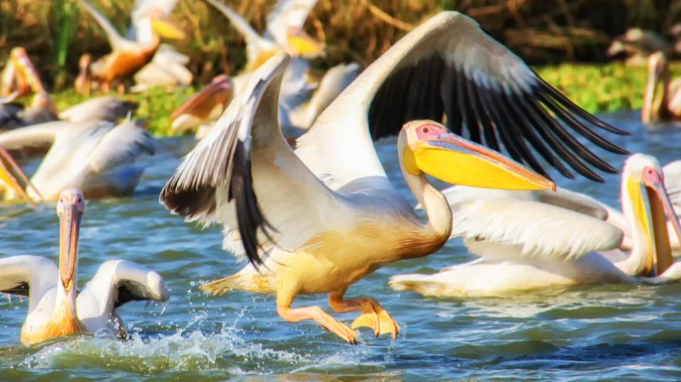 Great White Pelican in the Djoudj National park