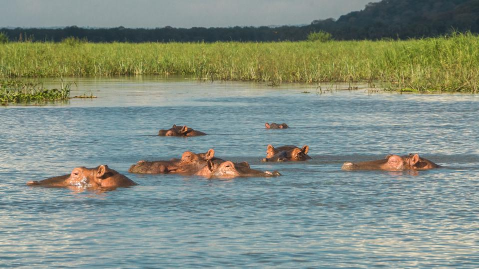 Hippos in the Shire river in Liwonde National Park in southern Malawi.