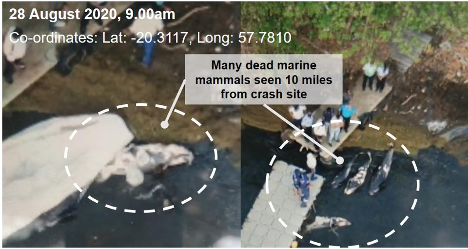 Drone footage taken by journalist and human rights activist, Reuben Pillay on 28 August, showed several dead large marine mammals being loaded by officials at the jetty of a large aquaculture farm, less than 10 miles from the Wakashio crash site.