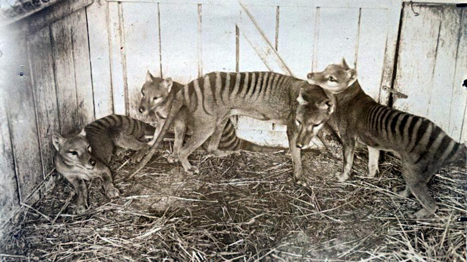 Sepia photo of four thylacines in a straw floored enclosure with wooden walls.