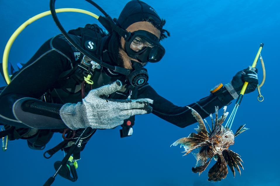 Scuba diver spears an invasive lionfish
