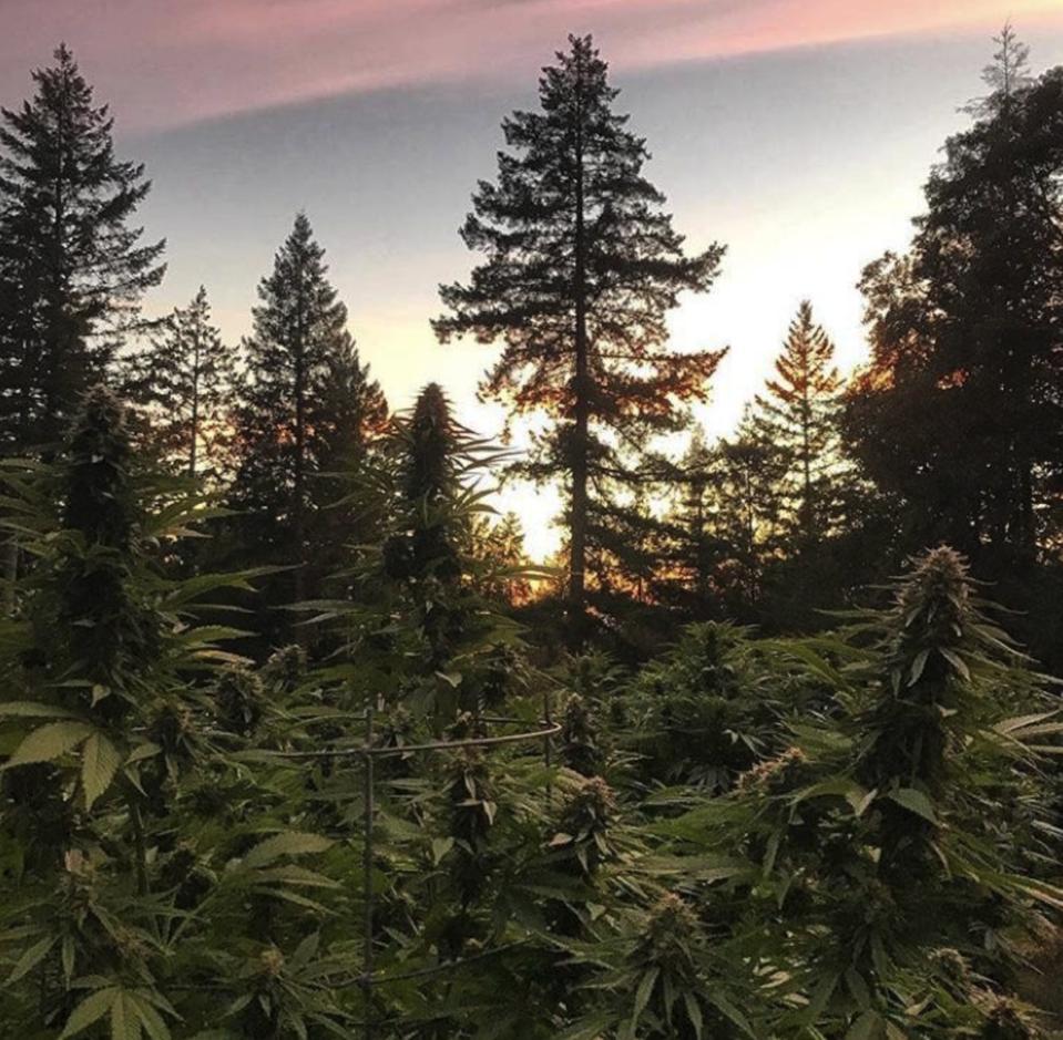 cannabis growing in the redwoods of mendocino
