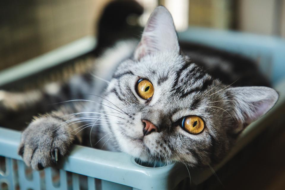 Drug Used For Cat Coronavirus Infections Fast Tracked For Clinical Trial In Humans With Covid 19