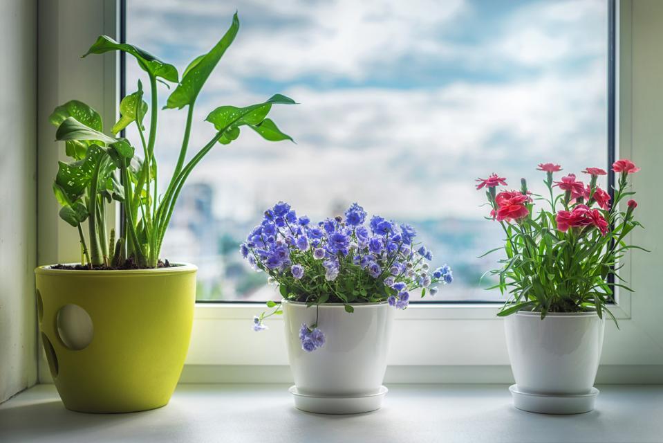 House plants on window. Carnation, blue flower and kala.