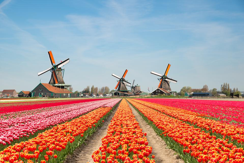 Landscape of Netherlands bouquet of tulips and windmills in the Netherlands.