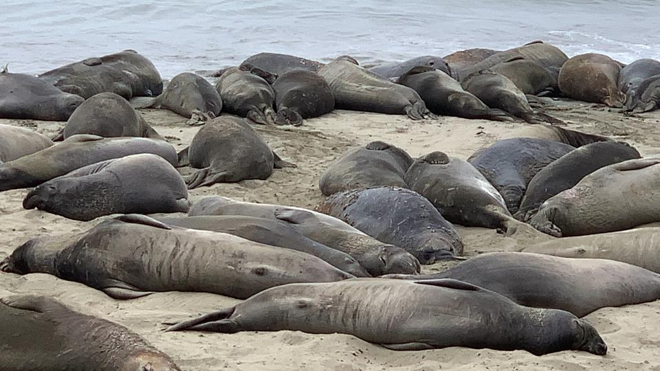 California, Highway 1, Elephant Seals